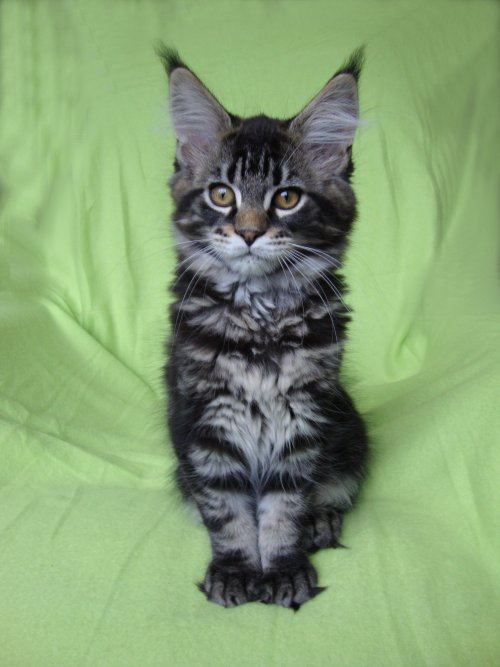 Magic Craft Maine Coon Kittens